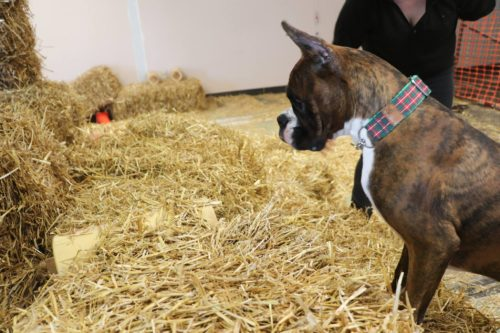 Luther the boxer puppy at barn hunt practice in Alberta Canada