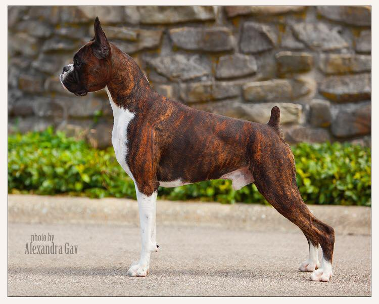 Markus the CKC and AKC champion brindle boxer standing outside at the American Boxer Club National