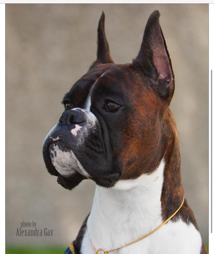 Markus the CKC and AKC champion boxer head study
