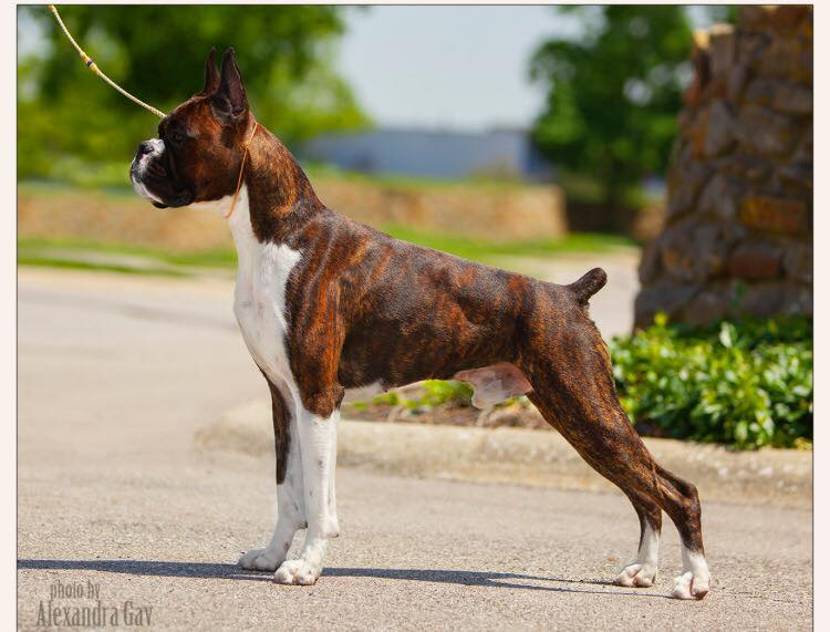 Markus the CKC and AKC champion boxer standing outside in the summer at the American Boxer Club National dog show