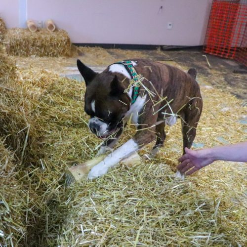 Ranger the CKC champion boxer dog finding a rat at a barn hunt practice in Canada