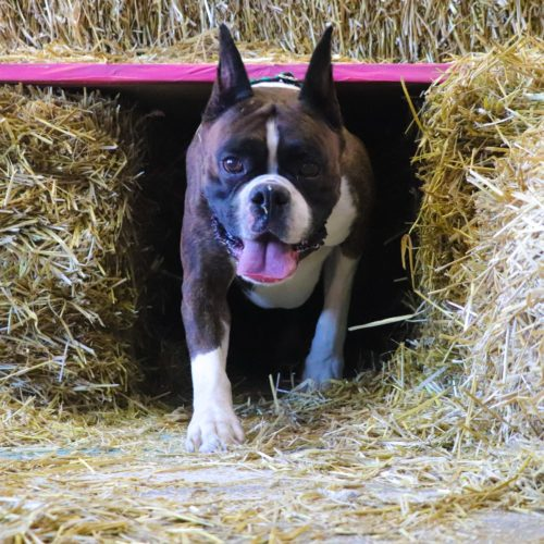 Ranger the CKC registered champion boxer exiting the tunnel during a barn hunt practice in Canada