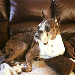 ruby the senior boxer dog with a grey face lying on the couch
