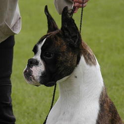 Ruby the boxer dog imported from South Africa