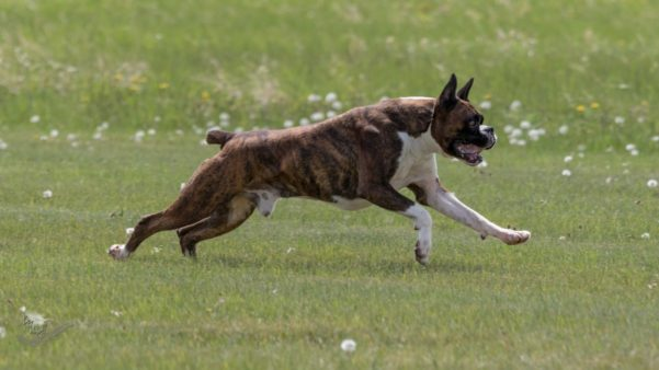 Ranger the CKC registerd champion boxer dog running outside in an open field in the summer during a lure coursing and sprinters event in Alberta Canada