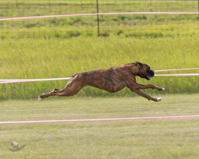Fergie the CKC registered plain brindle boxer running outside in a grass field during a lure coursing and sprinters event in Alberta Canada