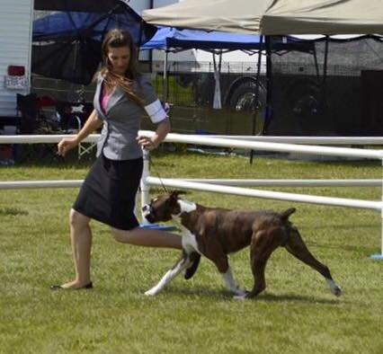 Ranger the CKC boxer at the Grande Prairie dog show showing his movement and gait in Alberta Canada