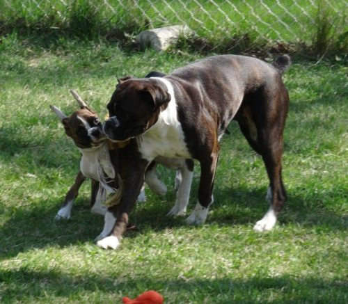 Margot the boxer playing with her puppy in the yard in Alberta Canada