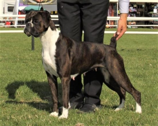 Margot the CKC boxer wins at the NACA dog show in Alberta Canada