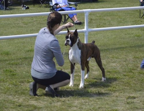 Ranger the CKC boxer competing in a dog show with his handler in Grande Prairie Alberta Canada