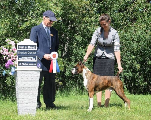 Ranger the CKC boxer winning a group 2 at the Grande Prairie dog show in Alberta
