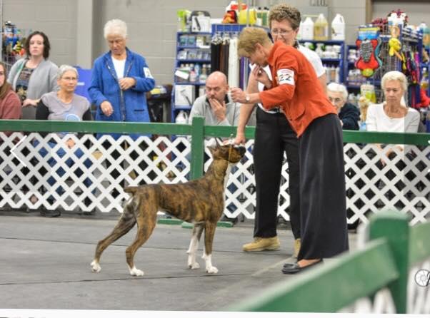 Harper the CKC boxer in a dog show s a puppy in Saskatchewan Canada