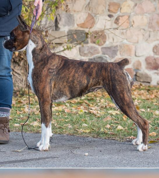 Harper the CKC boxer stacked outside in a park in Alberta Canada