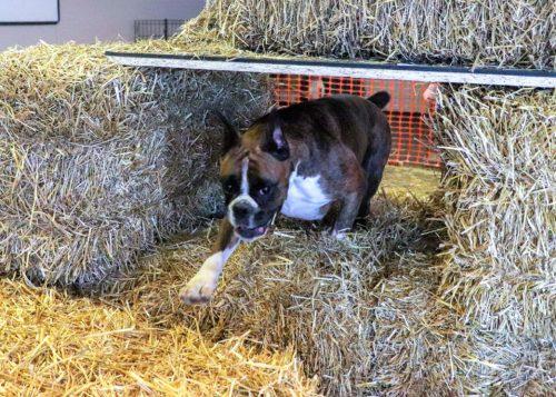 Harper the CKC boxer at barn hunt practice in Alberta Canada