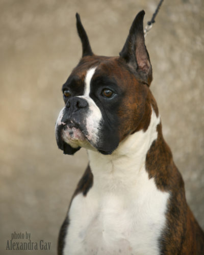 Ranger the boxer sitting outside against a stone wall highlighting the boxer head in Indiana USA