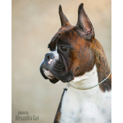 Markus the show boxer from a CKC breeder in Alberta Canada