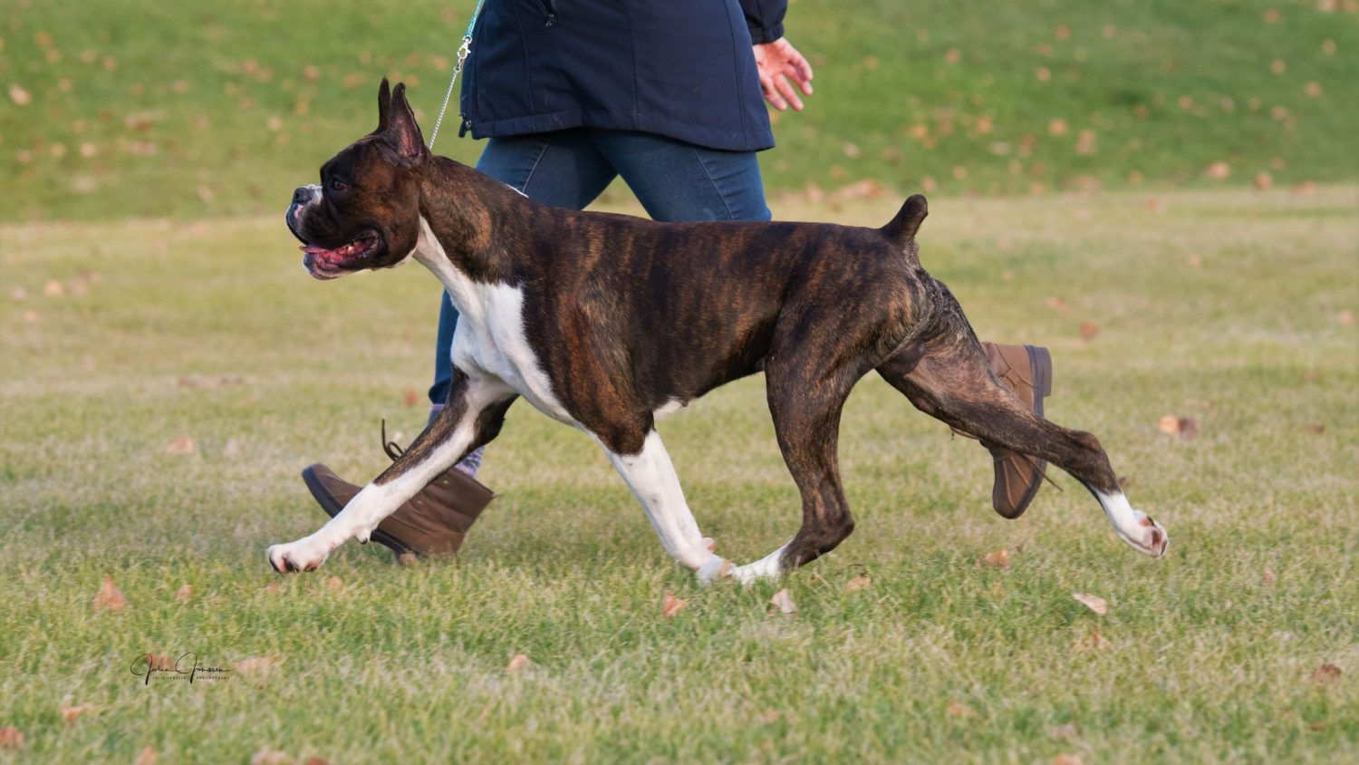 Markus the CK and AKC champion flashy brindle boxer dog showing his movement and side gait outside in an open grass field